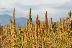 Beneficios y propiedades de la quinoa